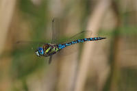 マダラ詣で - 蝶と蜻蛉の撮影日記