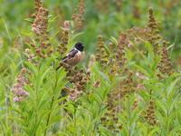 花畑のノビタキ - コーヒー党の野鳥と自然 パート2
