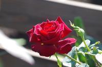 秋の薔薇が咲き出した小さなローズガーデンのその後 - 季節の風を追いかけて
