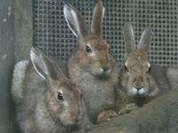 トウホクノウサギ - bonsoir