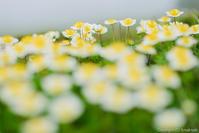 短い夏の花 - ひつじ雲日記