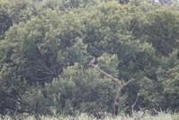 ミサゴ遠くの枝に止まりを - 私の鳥撮り散歩