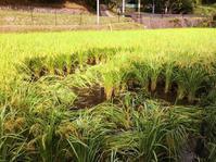 イノシシ、田んぼに入る…。ハウス骨組み完成。蓮根の実、食べてみた!あゆみさんのおやつ♪ - にじまる食堂 & にじまる農園