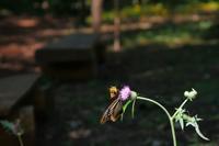 アサギマダラ(3)蜜争い勃発?・・・赤城自然園 - 『私のデジタル写真眼』