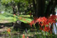 彼岸花が咲き始めました・・・ - 趣味人の時偶ブログ
