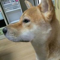 柴犬、顔が腫れる。 - ソラシド綴り