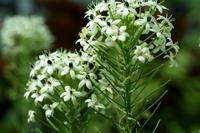 温室の花--オルニソガラムという名の花 - くにちゃん3@撮影散歩