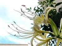 白花曼殊沙華と夏の忘れ物 - 花さんぽ~☆