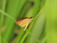 ギンイチモンジセセリ3化・ミヤマチャバネセセリ3化 - 一寸の虫にも五分の魂