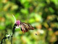アサギマダラ(4)・・・蜂に追われて(^-^; - 『私のデジタル写真眼』