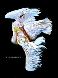 pelican - A  B  C