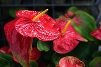 大温室の花達 - くにちゃん3@撮影散歩