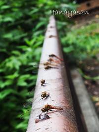 蜻蛉 - こもれびの森