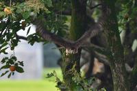 オオタカ若 - 鳥さんと遊ぼう