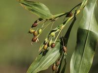 『鳩麦(ハトムギ)と胡麻(ゴマ)と秋葵(オクラ)と黄蜀葵(トロロアオイ)等・・・・・』 - 自然風の自然風だより