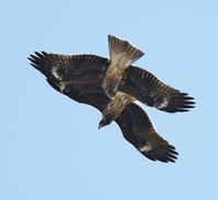 ランデブー飛翔のトビを・・・ - 一期一会の野鳥たち
