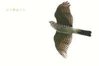 ツミ - 北の野鳥たち