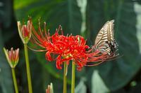 四季の花山歩 ~曼珠沙華 咲き始め ~ - あんだんて♪の、人生の忘れものを探しに・・・