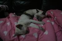 Tonkinese kittens. No.3 - MINKWIN Cattery &Pretty Aki