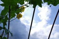 ヘチマの花 - いつかみたソラ