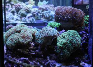 インドネシアサンゴ、沖縄 - ビーボックスアクアリウム 海水魚・サンゴ情報