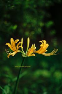 Spider Lily ... - ショーオヤジのひとり言