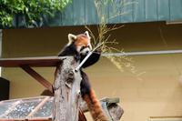 旭山動物園にて~食いしん坊のレッサーパンダちゃん - My favorite ~Diary 3~