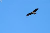 遥か上空 トビの背打ち - 野鳥公園