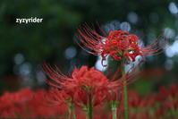 雨の巾着田 - ジージーライダーの自然彩彩