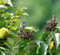 山のアカメガシワにエゾビタキ・・・ - 一期一会の野鳥たち