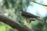 ツミ 幼鳥 余裕の枝止まり - 気まぐれ野鳥写真