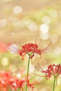 キラキラひかる - お花びより