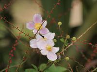 『秋明菊(シュウメイギク)や野原薊(ノハラアザミ)の花や権萃(ゴンズイ)の実など・・・』 - 自然風の自然風だより