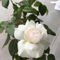 薔薇ボレロと緑色の瞳♪ - いととはり