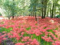 Flower Fairy Red Spider Lily - ひよの散歩日和