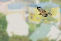 ハチクマ - 北の野鳥たち