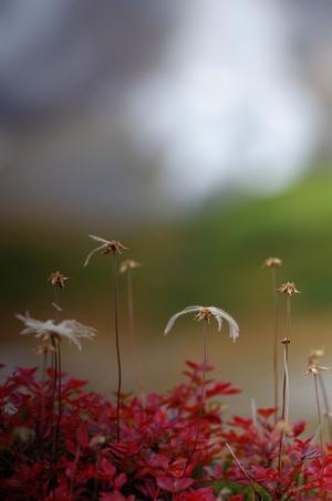 *秋のエゾオヤマノリンドウとチングルマ* -