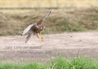 飛び方で変わる翼の形、チョウゲンボウの場合 - THE LIFE OF BIRDS --- 野鳥つれづれ記