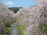 桜 - 花