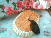 はちどり様ご滞在 presencia de huesped bebe colibri - はちどりの庭  Jardin Colibri