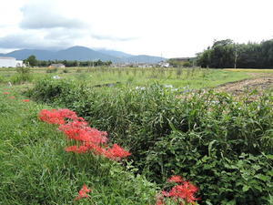 彼岸花求めてカメラマン - ハーブ農園・販売風景などお送りします。