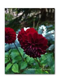 秋を知らせる庭 - 雪割草 - Primula modesta -