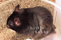 ブラックハムスター - Little hobby