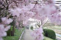 半木の道 桜 - 京都デジカメ散歩