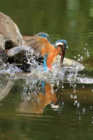 カワセミのママが水中でエビを咥えて飛び出す瞬間(葛飾区、水元公園)(その2) - 旅プラスの日記