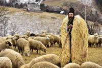羊飼い - さくさく