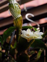 デンドロビウム・ラメラタム #3 - Blog: Living Tropically