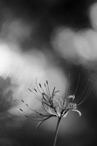 彼岸花咲きました - 心の色~光生写真館~