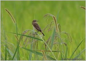 ノビタキもう来ていたとは - 野鳥の素顔 <野鳥と・・・他、日々の出来事>