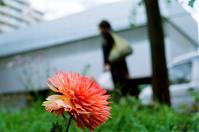ダリアと花言葉「裏切り」と私利私欲解散 - 照片画廊